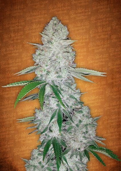 Gorilla Glue 3 Stk. - Fast Buds
