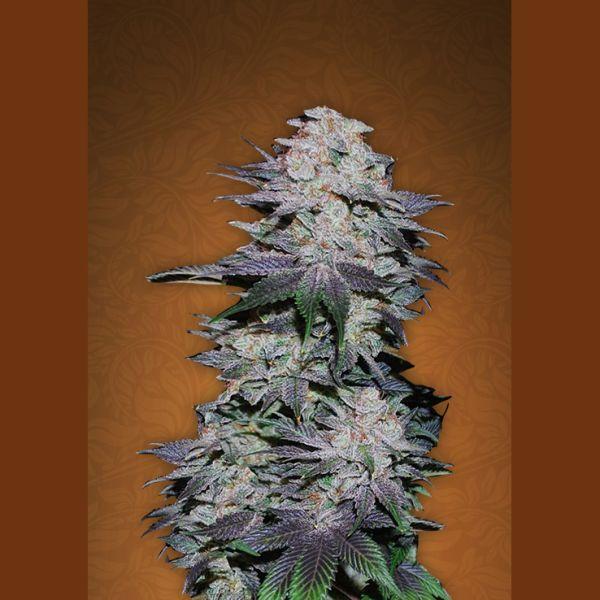 Blackberry 3 Stk. - Fast Buds
